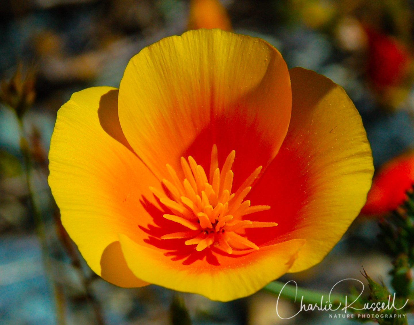 Foothill Poppy